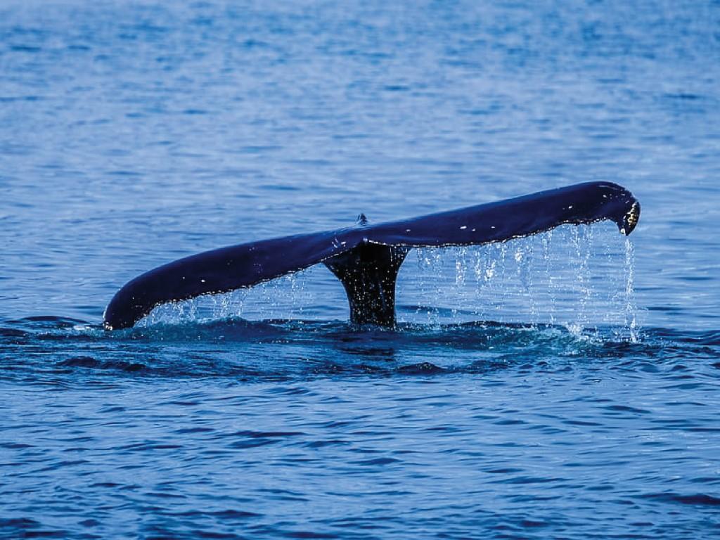 Avistamiento de ballenas Tenerife Catamarán 5h